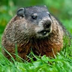 Groundhog34